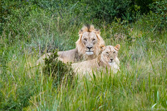 RBH_3371 (Pix by Hix) Tags: africaanimals lion southafrica ellisras limpopo za