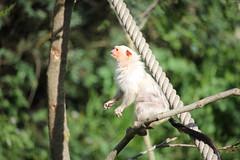 Ouistiti argenté (wannaell) Tags: ouistiti argenté marmoset singe primate wild animal sauvage