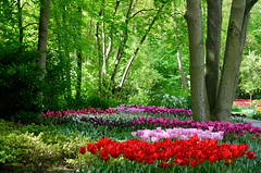 Keukenhof (l-vandervegt) Tags: 2015 nikon d3200 nederland netherlands holland niederlande paysbas tulpen tulips natuur nature keukenhof lisse bollen