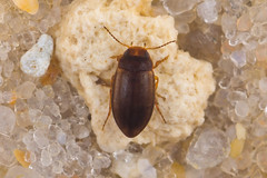 Hydroporus sp. (NakaRB) Tags: insecta coleoptera dytiscidae hydroporus 2016