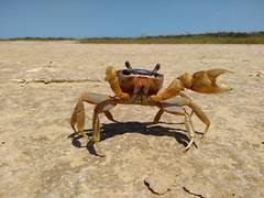 Cangrejo de Estero (leon.alvarado12) Tags: guajira riohacha colombia crab desert desierto cangrejo