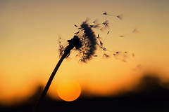 """Some See a Weed, Some See a Wish"" - Kiera Cass (fehlfarben_bine) Tags: nikond800 nikon240mm1200mmf40 macro closeup dandelion seeds wind blow sunrise nature dreamy softness orange"