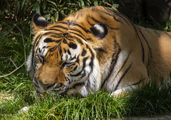 National Zoo 3 May 2018  (969) Tiger (smata2) Tags: tiger tigre flickrbigcats bigcats smithsoniannationalzoo zoo zoosofnorthamerica itsazoooutthere animals zoocritters