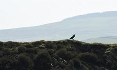 RavenEdge (Tony Tooth) Tags: nikon d7100 nikkor 55300mm bird raven silhouette bakestonedale pottshrigley cheshire