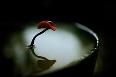 lotus (slowhand7530) Tags: nikon d800e carlzeiss makroplanart250zf makroplanar macroplanar makroplanart250 zen
