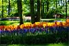 Spring Colors (Hindrik S) Tags: bulbs tulip flowers plant spring maitiid foarjier voorjaar frühling printemps garten garden tún tuin jardin park color couleur colour colorful light ljocht lisse 2018 zuidholland netherlands nederland holland green yellow blauwedruifjes muscaribotryoides grapehyacinth tulipa tulp sonyphotographing sony sonyalpha a57 α57 slta57 amount alpha minoltaamount sony1650mmf28dtssm