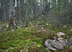 Eastern Massasaauga Rattlesnake (Nick Scobel) Tags: eastern massasauga rattlesnake up north northern michigan sistrurus catenatus fangs venomous viper pit endangered species wide angle habitat sphagnum moss forest conifer scenic