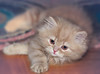 kitten (kvl23) Tags: cat domestic pet sleep fur furry downy kitten carnivore sleepy adorable animal eye eyes head
