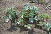 Eryngium maritimum (esta_ahi) Tags: deltadelebro flora plantas marinas panicalmarino eryngium maritimum eryngiummaritimum umbelliferae apiaceae baixebre tarragona spain españa испания