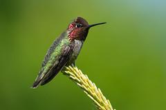 Clarke_180516_5542.jpg (www.raincoastphoto.com) Tags: birds birdsofcanada hummingbirds birdsofbritishcolumbia calypteanna birdsofnorthamerica annashummingbird britishcolumbia canada