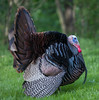 Turkey in full display and mating color (jimbobphoto) Tags: fluffy bird male beard fan feather nature dude