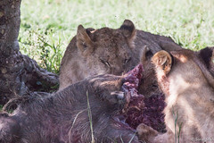 17th January 2018 - Lunchtime in the Mara (princetontiger) Tags: kenya masaimara wildlife animals gamereserve nationalpark safari lion lioness cub eating kill