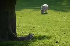 (steve p2008) Tags: may2018 trees sheep