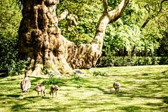 DSC_9978 (thaibottos) Tags: nature natureza ducks patinhos tree arvore green verde verao summer
