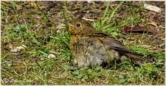 Fresher Ib (lukiassaikul) Tags: wildlifephotography wildanimals wildbirds gardenbirds urbanwildlife juvenile robin juvenilerobin europeanrobin sunbathing sunshine
