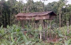 img990 (deepchi1) Tags: irianjayawestpapua irian jaya west papua irianjaya westpapua indonesia stoneagepeople island jungle primitive korowai tree treehouse house people headhunters