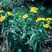 Lithospermum canescens - Boraginaceae