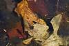 Fairy Shrimp (brucetopher) Tags: fairy shrimp fairyshrimp fauna animal creature aquatic freshwater water wet underwater leaflitter leaves leaf crustacian wetland vernalpool spring latespring vernal pool pond marsh swamp earth science nature natural
