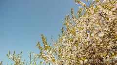 09.04.2018 (Fregoli Cotard) Tags: spring blossom trees flowerytrees springishere warm floral floralinspo sky dailyjournal dailyphotography dailyproject dailyphoto dailyphotograph dailychallenge everyday everydayphoto everydayphotography everydayjournal aphotoeveryday 365everyday 365daily 365 365dailyproject 365dailyphoto 365dailyphotography 365project 365photoproject 365photography 365photos 365photochallenge 365challenge photodiary photojournal photographicaljournal visualjournal visualdiary 99365 99of365