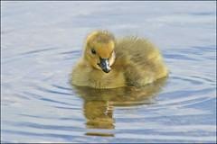 Cruising (muledriver) Tags: lakekatherine gosling babies nature canadagoose geese