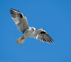 Black shouldered Kite (Mykel46) Tags: black shouldered kite bif birds nature wildlife flight flying outside outdoors outdoor sky white red sony a9 100400mm