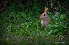 Ginger Rabbit - Bedfordshire (Alan Woodgate) Tags: ginger