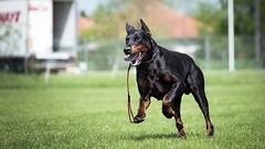 Get it boy (zola.kovacsh) Tags: outdoor animal pet dog dobermann doberman pinscher ipo schutzhund grass meadow