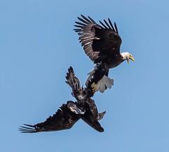 Eagle fight (2) (blackwell.tina) Tags: marylandwildlife conowingo raptorfight raptor raptors eaglefight eagles lockedtalons fightinflight fight baldeagles baldeagle