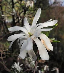 20180412 Stern-Magnolie - Garten M5220249 (AviFuzzi) Tags: olympus m1 mark2 ried natur hessen