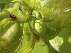 Cucumber Green Orb Spider (Gareth Christian) Tags: sonydschx90v kentwildlifetrust araniella cucurbitina sensu lato cucumber green orb spider kwt longfieldchalkbank araniellacucurbitinasensulato cucumbergreenorbspider longfield england unitedkingdom gb