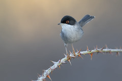sardinian warbler (leonardo manetti) Tags: bird nature red winter colours naturephotography field natural nikkor countryside green morning black uccello wood forest fields dawn sunrise sardinian warbler