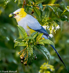 Long-tailed Silky-flycatcher (Ptilogonys caudatus), Costa Rica (frankmetcalf) Tags: costarica longtailedsilkyflycatcher ptilogonyscaudatus berries fruit tree leaves