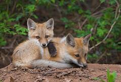 Cuddling kits (WhiteEye2) Tags: redfoxkits wildlife nature redfox kits fox den adorable cute cuddling sweet babyanimals ct connecticut