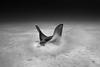 Eagle Ray Feeding (Lance Sagar) Tags: eagle ray feeding underwater bonaire mobula fish freediving apnea sony ikelite rx100 inon sand bw predator