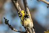 LucdelaC_MG_8597.jpg (LucdelaC) Tags: oiseaux chardonneret