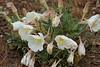 Oenothera in the rain (kyleddsn) Tags: ogden utah spring hiking
