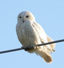 Snowy Owl (Bubo_scandiacus) (marknenadov) Tags: owls snowyowl snowyowls birdsofprey birds nature wildlife 300mm nikon