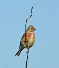 Common Linnet - Druridge (Gilli8888) Tags: northumberland nikon p900 coolpix wildlife countryside wetlands linnet commonlinnet branch bird