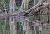 20180507-Flickr-0022 (Iris Harm Fotografie) Tags: bever beaver ed willem iris harm fotografie natuur outside nature outdoor buiten water biesbosch knagen geur afzetten tanden