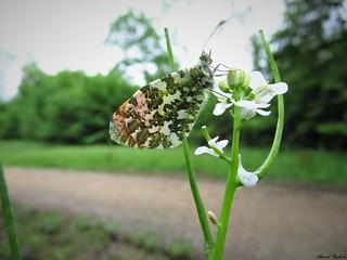 Butterfly 1666