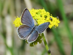 Western Tailed-Blue (Cupido amyntula) (bencbright) Tags: westerntailedblue cupidoamyntula sx60 canonsx60 butterfly