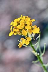 Erysimum Amurense (starborn-alchemy) Tags: flowers wildflowers flower yellow wallflower blossoms spring bloom nature sedona arizona floral