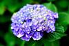 Hydrangea : 紫陽花 (Dakiny) Tags: 2018 spring may japan kanagawa yokohama aoba ichigao park city street plant tree flower hydrangea macro bokeh nikon d750 nikonafsmicronikkor60mmf28ged afsmicronikkor60mmf28ged nikonclubit