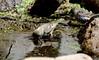 Bath Time -- Pine Siskin (Carduelis pinus); Santa Fe National Forest, NM, Thompson Ridge [Lou Feltz] (deserttoad) Tags: bird wildbird siskin nature animal mountain songbird water reflection fauna newmexico nationalforest