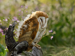 Sleepy head (Marc Briggs) Tags: dsc2453aw owl barnowl tytoalba raptor bird nature avian fledgling