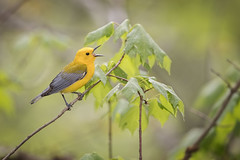 Song of the Prothonotary... {Explored} (DTT67) Tags: prothonotarywarbler warbler birds songbird song wildlife nature spring migration canon 1dxmkii 500mmii maryland