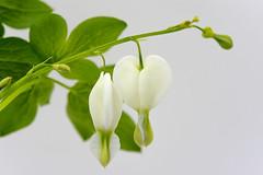 White Bleeding Heart (ScarletBlack) Tags: flower closeup whitebackground nikon60mm macro flowers bleedingheart whitebleedingheart lamprocapnosspectabilis