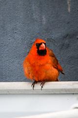 Cardinal (Stacey Conrad) Tags: d7500 nikon pa summerfield willowstreet cardinal bird