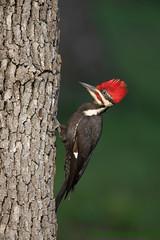 Pileated Woodpecker (Matt Shellenberg) Tags: pileated woodpecker pileatedwoodpecker missouri nature wildlife matt shellenberg