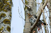 Grive litorne 03 (jean-daniel david) Tags: oiseau arbre branche grive grivelitorne volatile réservenaturelle bokeh ciel yverdonlesbains suisse suisseromande vaud contreplongée